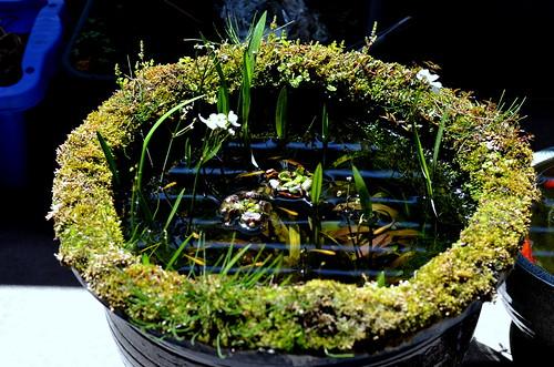 めだか睡蓮鉢。今年はナガバオモダカの成長がはやい。睡蓮鉢中央には、越冬したと思われるホテイアオイ。