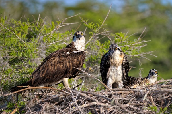 Mama and two juvenile Osprey