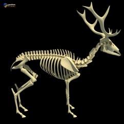 Deer Skeleton Anatomy Diagram Lutron 4 Way Dimmer Wiring Skeletons 3d Model Of Horse
