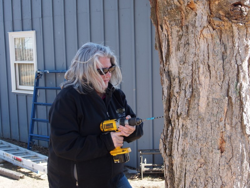 Tapping the Sugar Maples