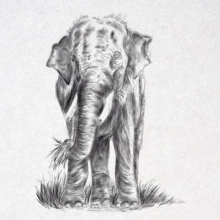 Latest drawing on iPad. This was a fun one. Elephants use