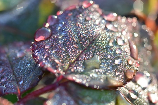 Dew on rose tree