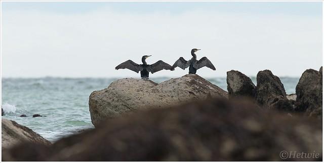 Twee aalscholvers die eensgezind hun vleugels laten drogen.