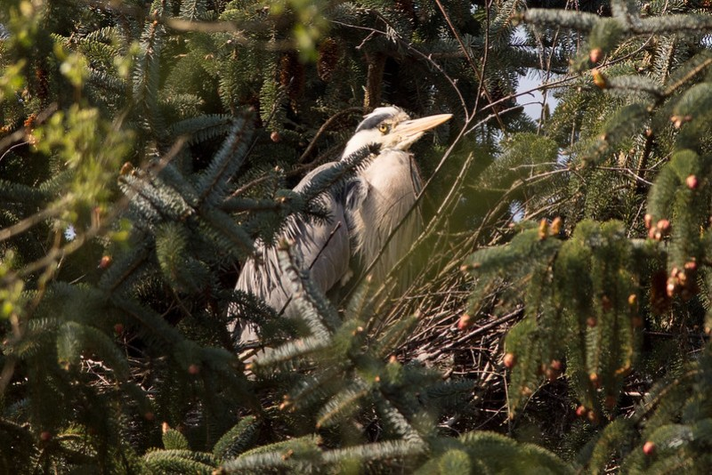 Grey Heron waiting for the arrival of its mate.