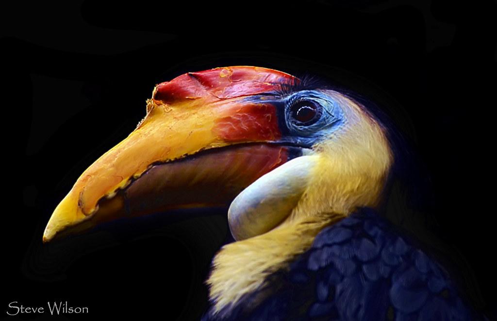 Animal Photo Wallpaper Colourful Hornbill Sulawesi Wrinkled Hornbill Steve