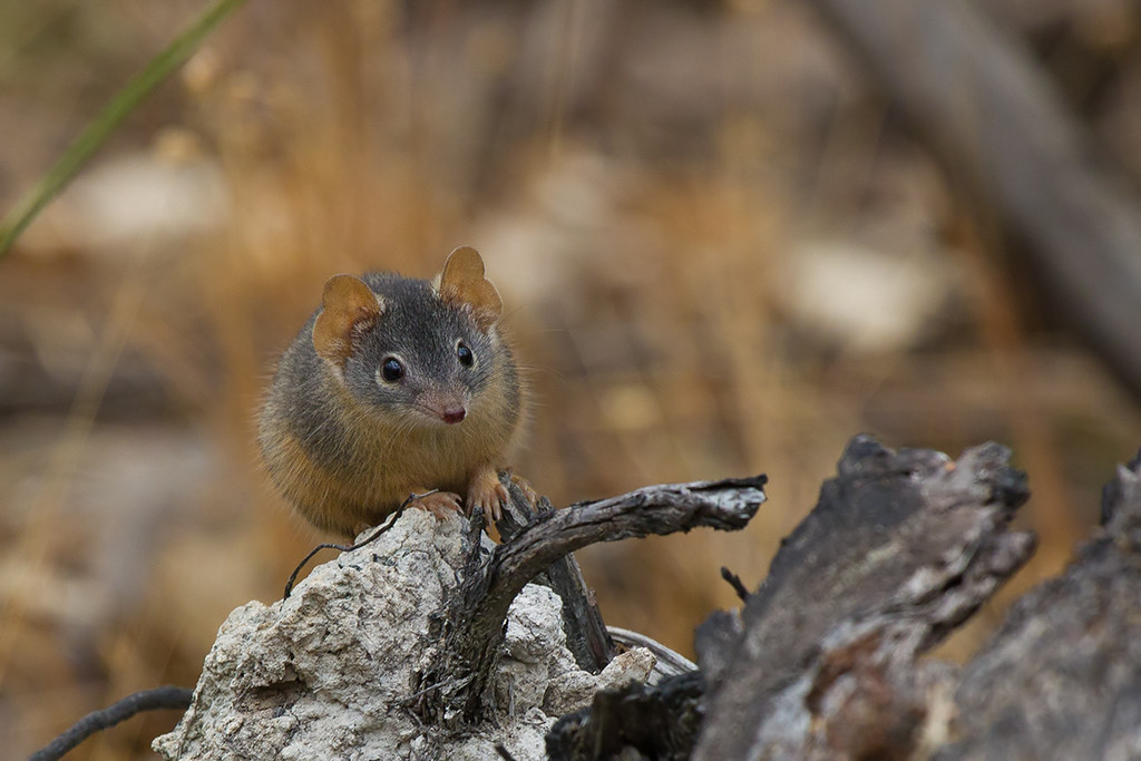 Yellowfooted Antechinus Antechinus flavipes  Rise and