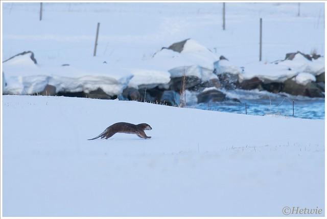 Een otter steekt de weg over en rent vlug naar het water.