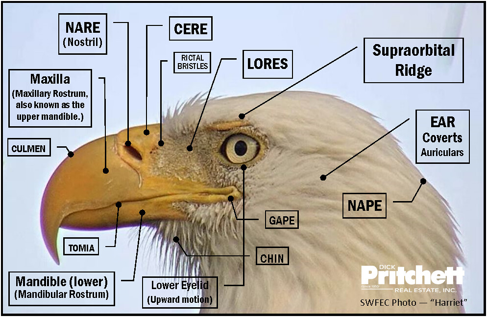 eagle wing diagram 5 pin cdi box wiring bald g9 igesetze de head photo taken from swfec showing har flickr rh com