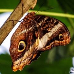 Owl Butterfly Diagram Ao Smith Ac Motor Wiring Caligo Beltrao Topsimages