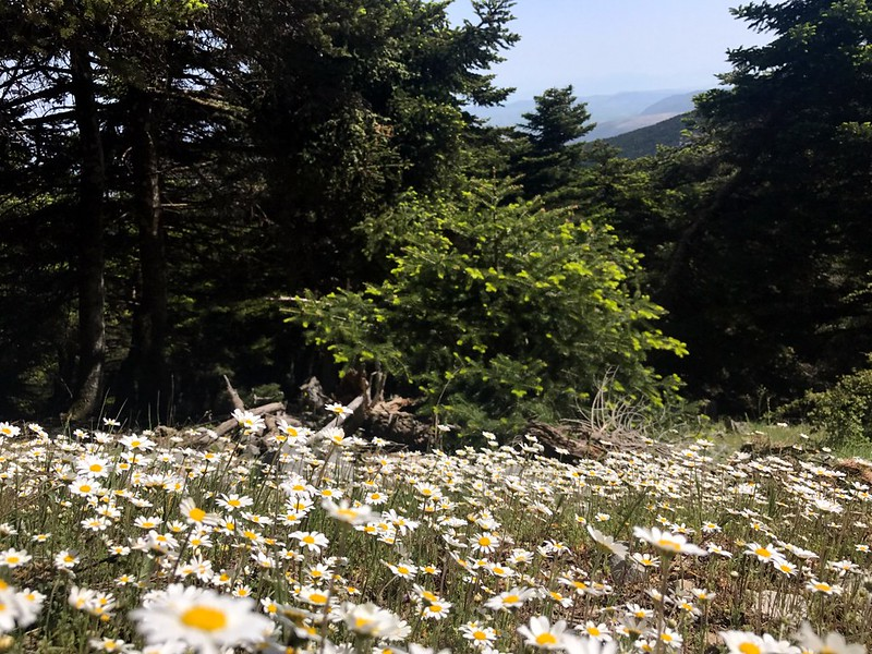 flowers and firs on mount kithaeron