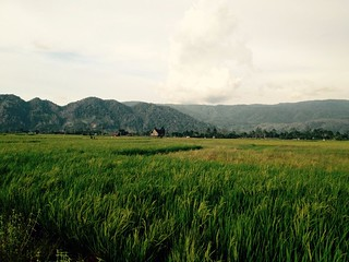 rice fields and mountains in wuasa sulawesi