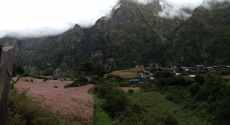 pink flowers in a valley in annapurna