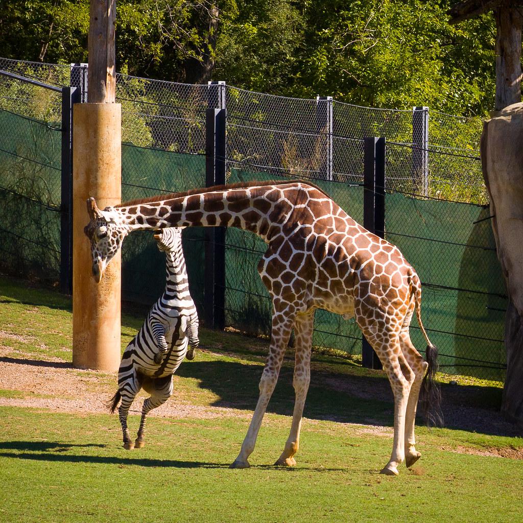 Zebra Vs Giraffe