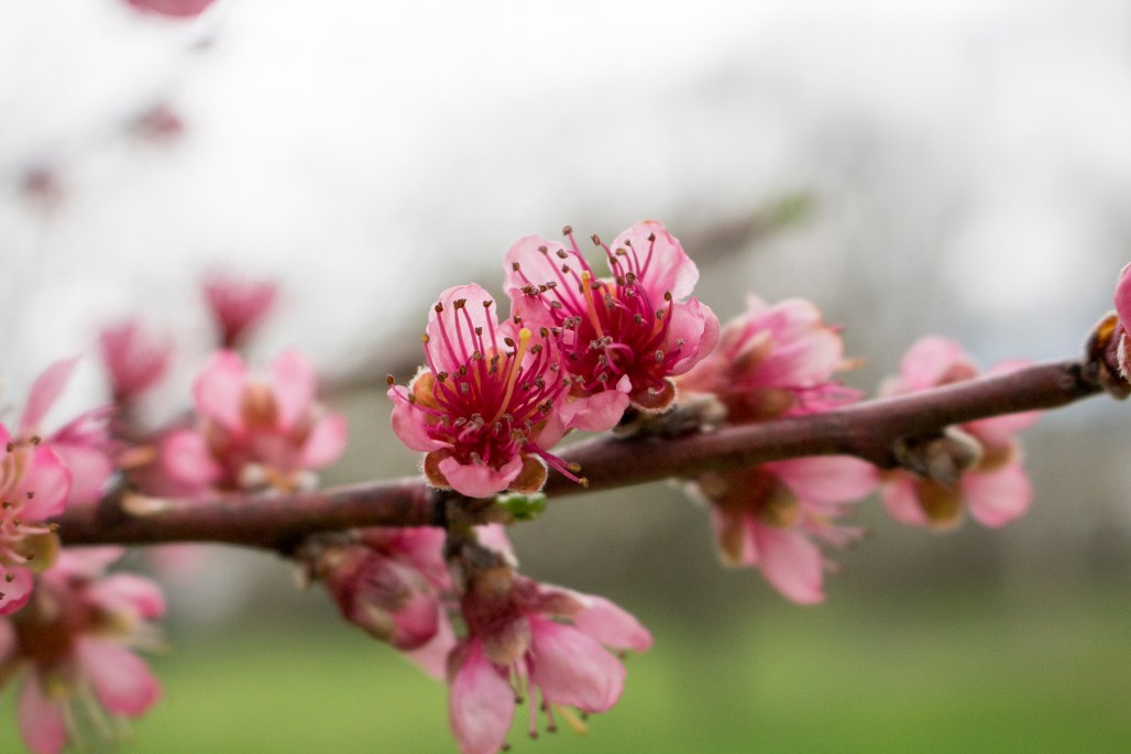 A peach tree's pink blossoms close up