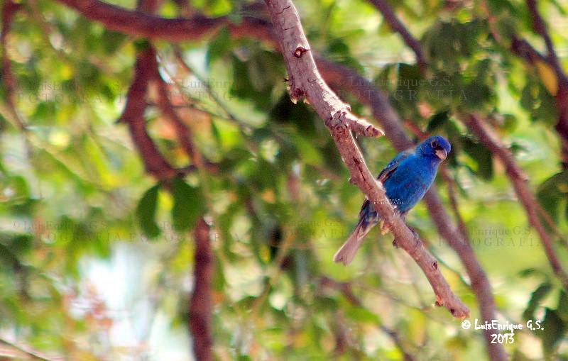 Gorrin Colorn azul Passerina cyanea  Chiautla de Tapi
