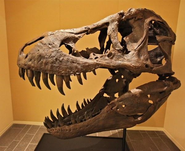 machoire de t rex