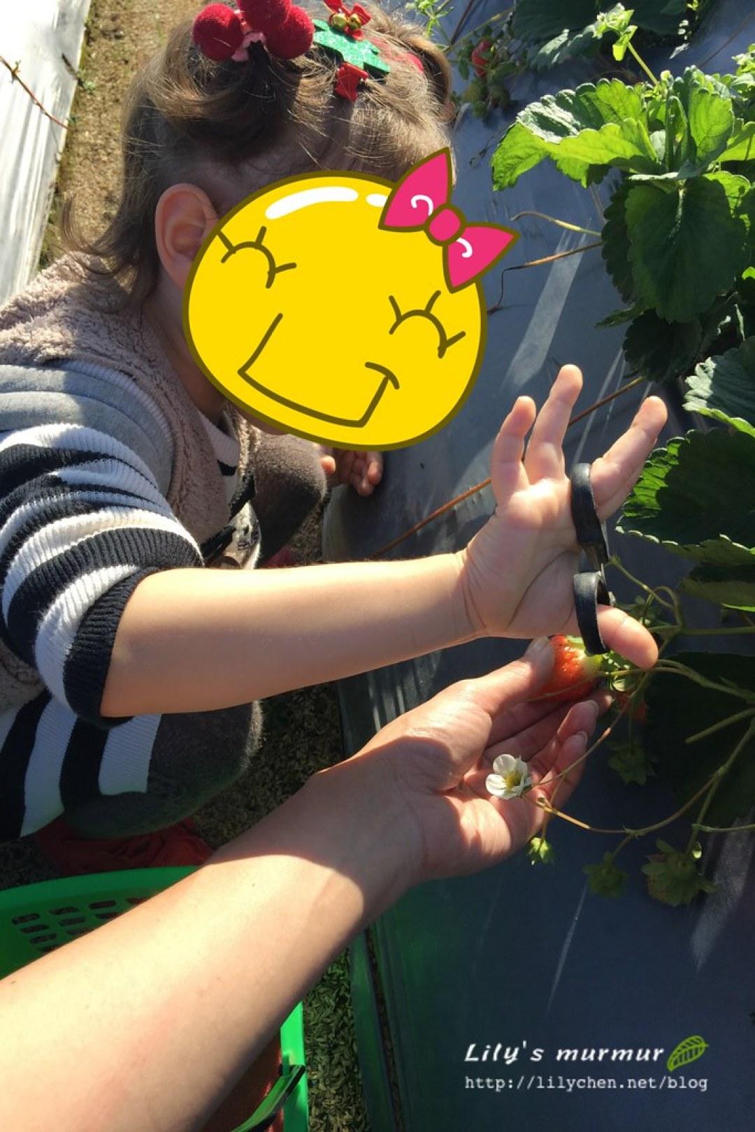 進行首次人生採草莓體驗的小妮,小心翼翼。