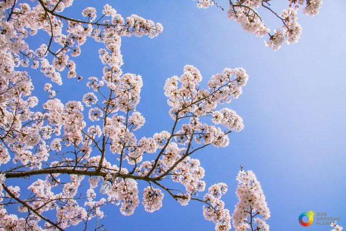 Gangneung Gyeongpo Cherry Blossom Festival