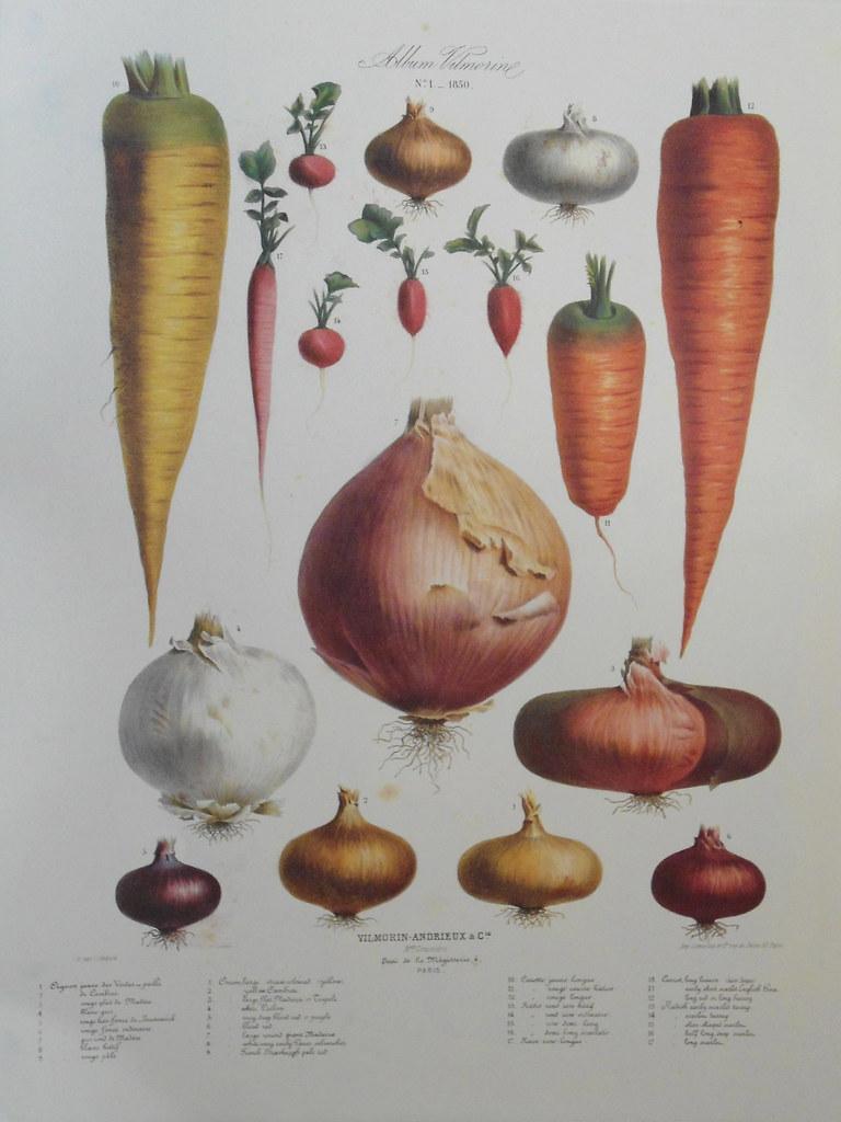 Root vegetables Album Vilmorin The vegetable garden 185