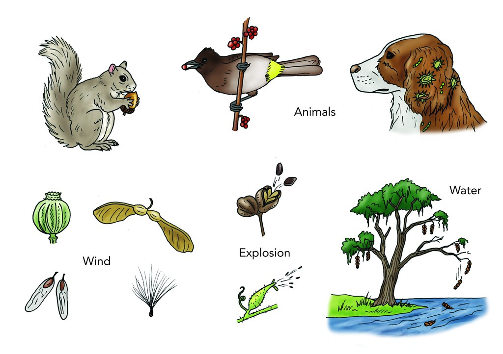 Seed Dispersal Mechanisms  Illustration Used In Gr 46