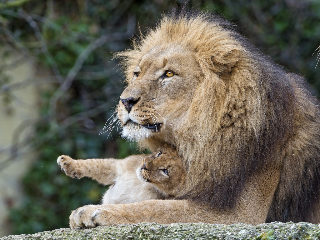 Big Cute Baby Wallpaper Dad And His Silly Cub Another Scene Of The Dad With His