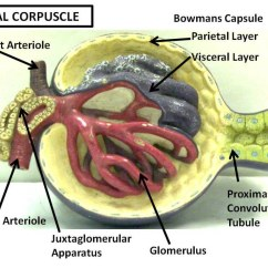 Bowman S Capsule Diagram 7 Pin Trailer Socket Wiring Uk Renal Corpuscle Lableed Anatomy Physiology Flickr