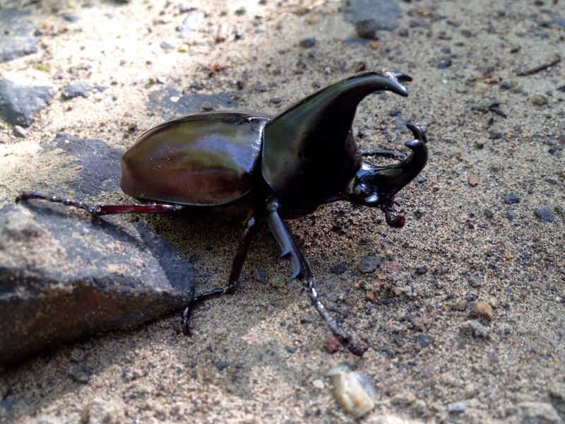 horn beetle in cat tien national park