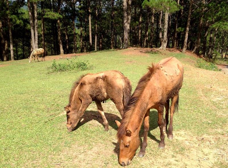 horses in lang biang mountain in vietnam near da lat