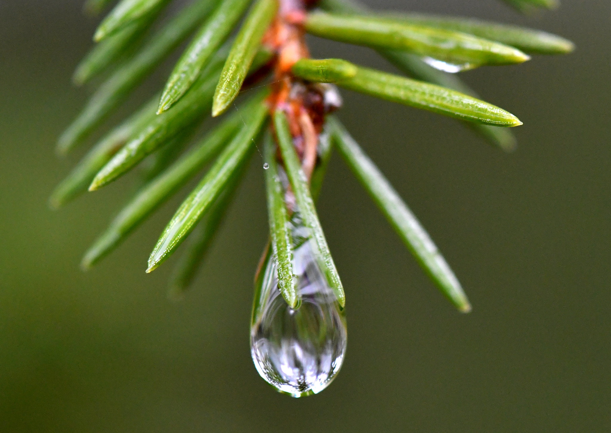 Water droplet on spruce