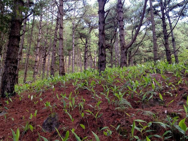beautiful pine forest in lang biang mountain in da lat, vietnam