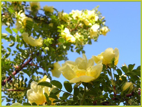 """The first roses of the season : """"Rosa Hugonis."""""""