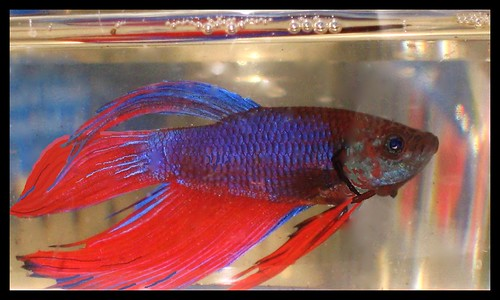 Red  Blue Betta  Vividly colored Siamese Fighting Fish in   Flickr
