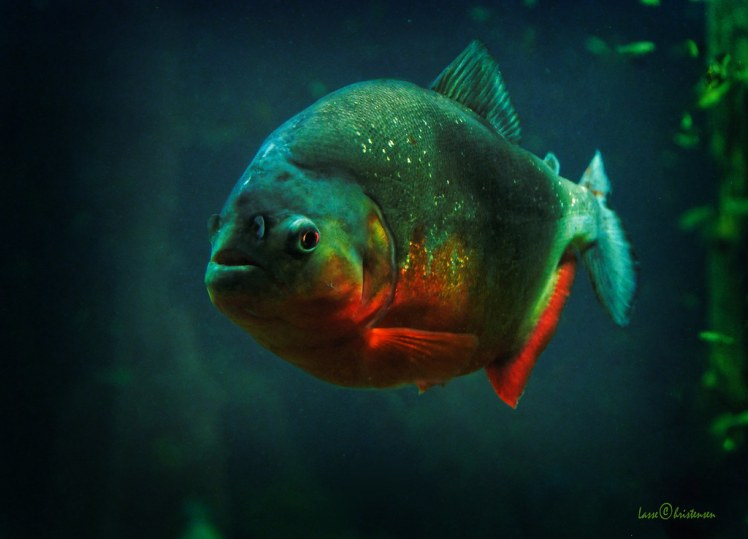 Bilderesultat for red bellied piranha