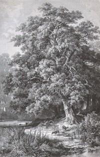 1906 Oak Tree Engraving | I SAW IN LOUISIANA A LIVE-OAK ...