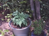 """Patio"" Tomato | ""Patio"" Cherry Tomato from Bonnie plants ..."