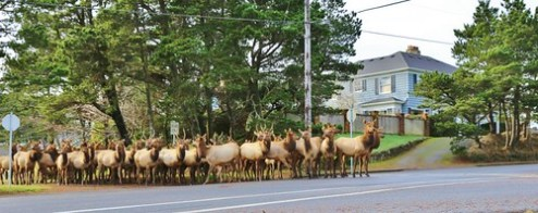 herd of elk on main street