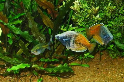 Boesemani breeding