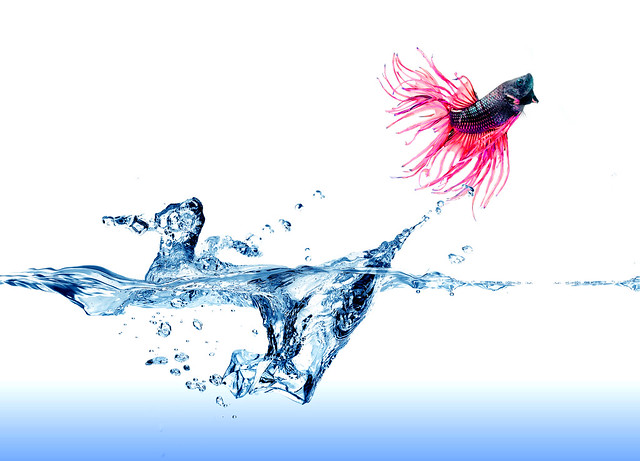 Jumping Siamese Fighting Fish on white