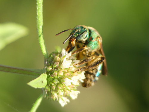 Sweat bee (Agapostemon species)