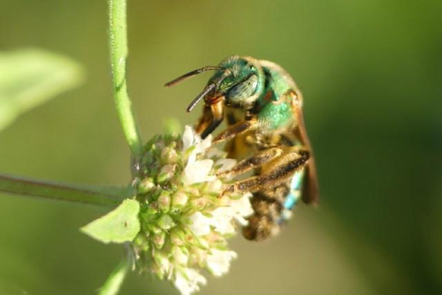 Sweat bee (Agapostemon species)