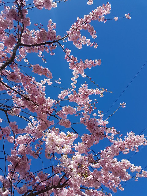 Cherry blossom and pink lips