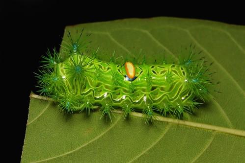 """Stinging Nettle Slug Caterpillar (Cup Moth, Limacodidae) """"Almond-backed"""""""
