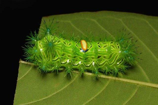 "Stinging Nettle Slug Caterpillar (Cup Moth, Limacodidae) ""Almond-backed"""