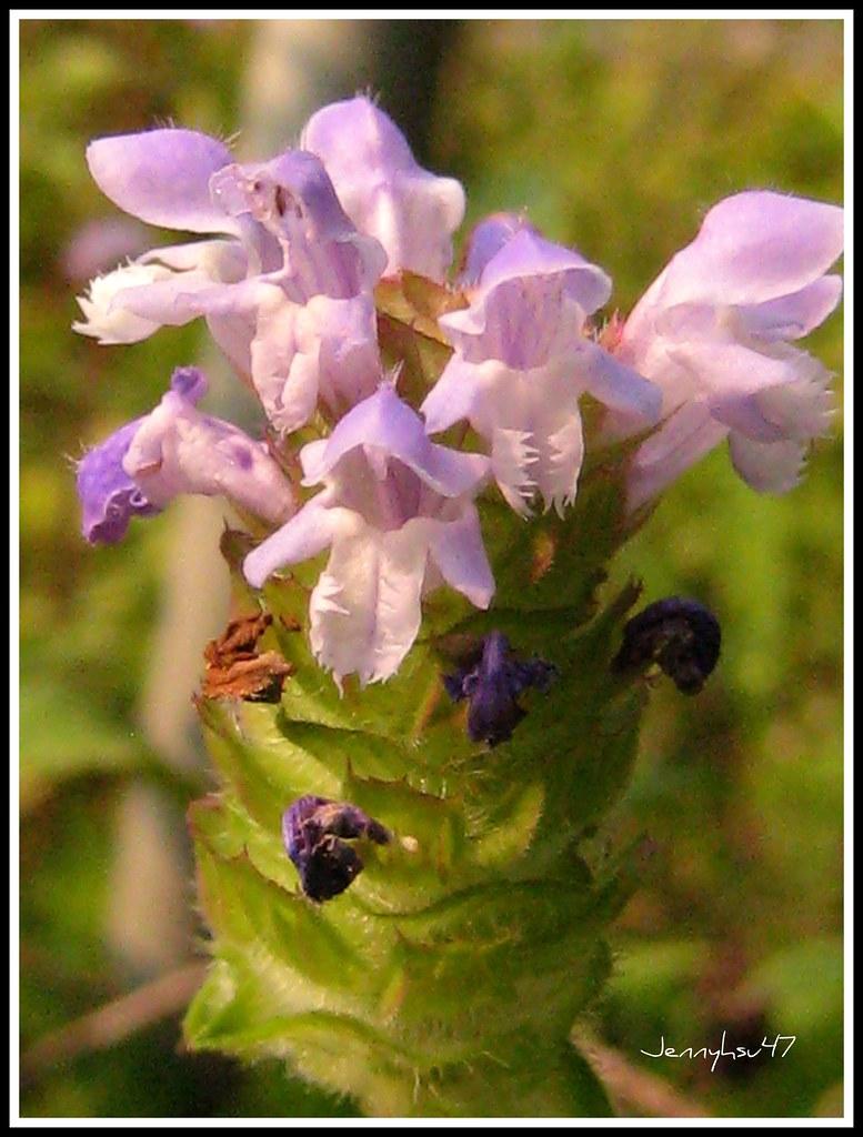 Common Selfheal--夏枯草02 | 學 名:Prunella vulgaris L. 學 名:Prunel… | Flickr
