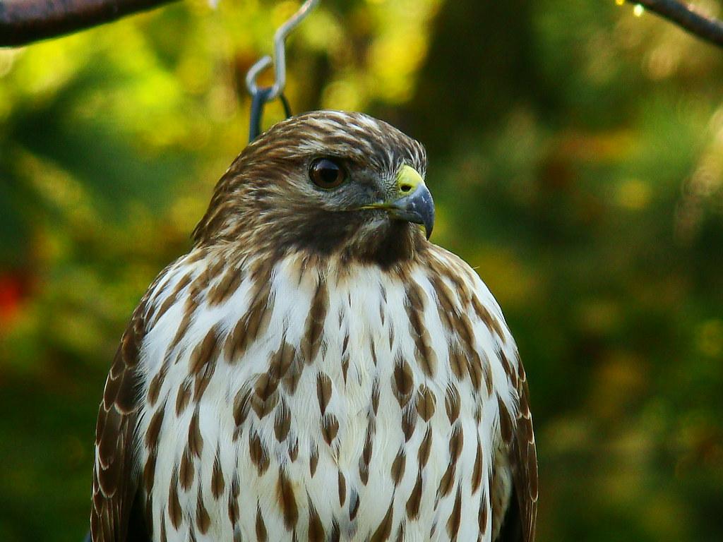 Juvenile Broadwinged Hawk  Taken on October 29 2009 in