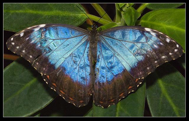 Blue Morpho Butterfly Morpho Peleides Wings Open Flickr