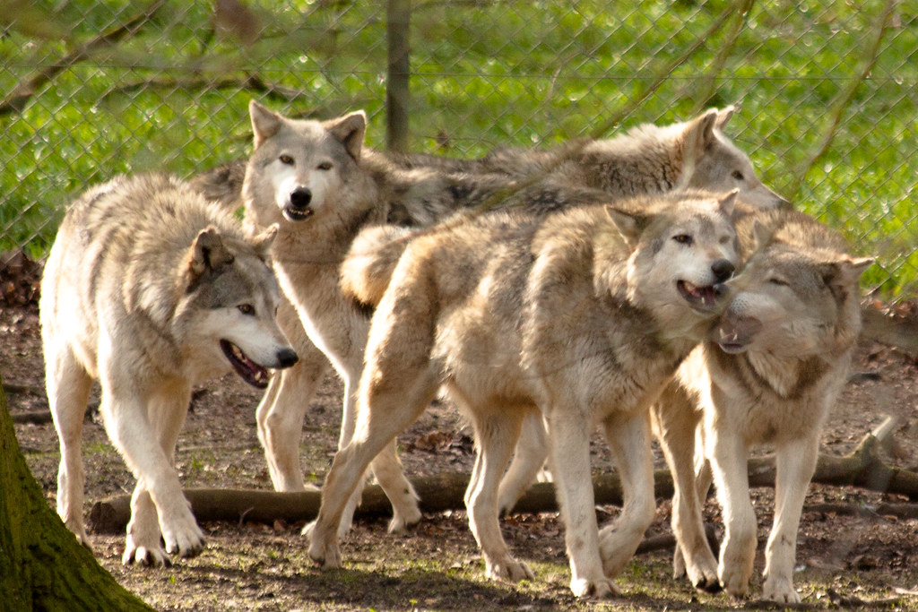 Fall Wallpaper Images Free Happy Wolfy Family I Took About 3gb Of Wolf Photos Today