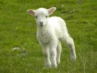 YoWorld Forums  View topic - Lamb Handheld