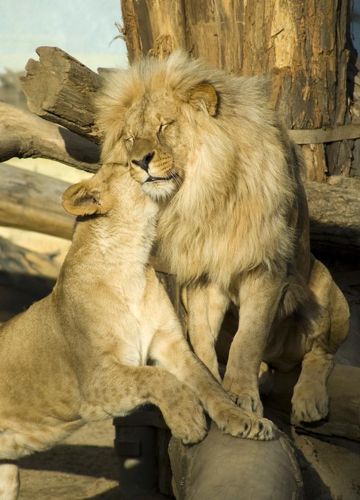Cute Couple Hug Wallpaper For Mobile Lion Couple 1 Having A Romantic Moment Andrew Cz