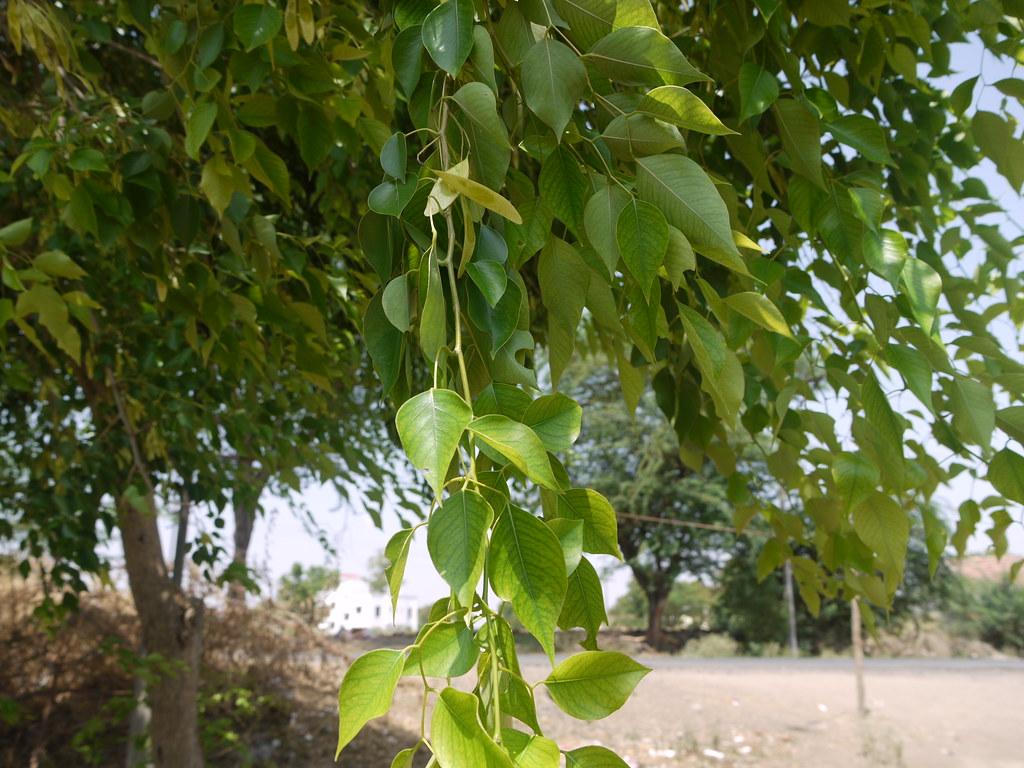 Shisav (Marathi: शिसव) | Fabaceae (pea or legume family ...